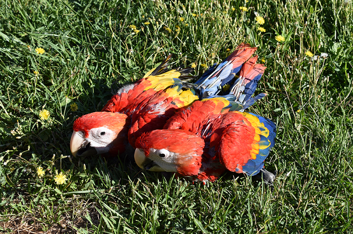 Macaws_700